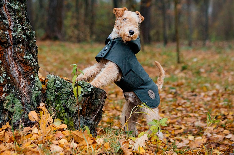 Лейкленд-терьер порода собак