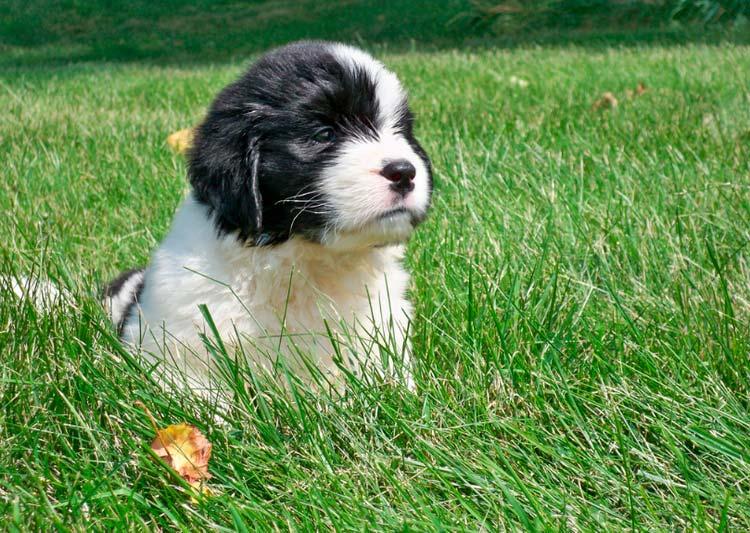Ландсир щенок