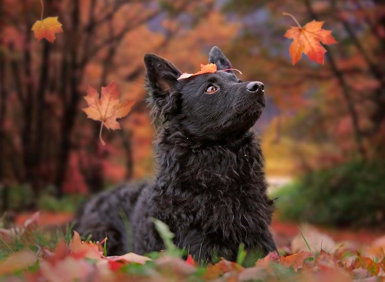 собака породы муди