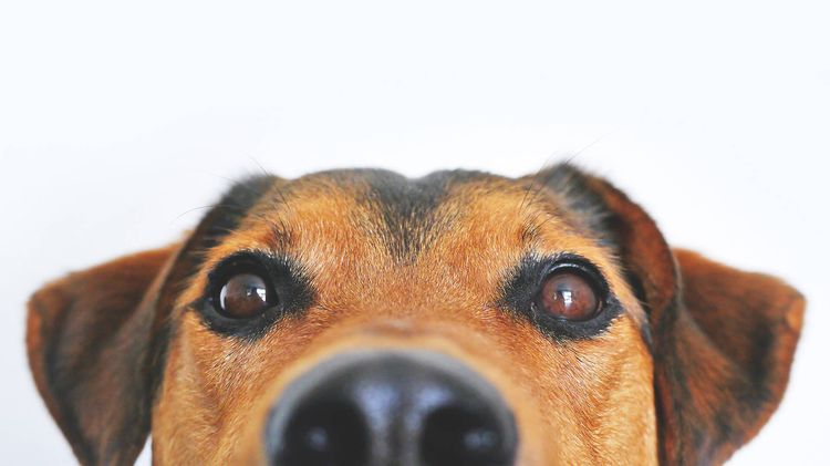Пес подглядывает