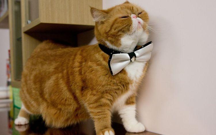 Кот с бантом на шее