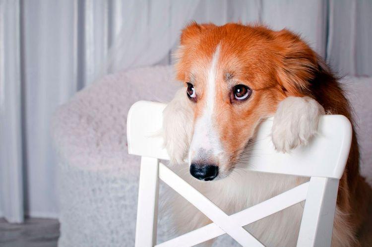 Собака положила голову на стул