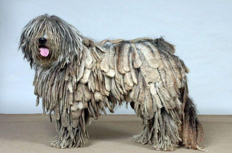 Собака с дредами породы бергамаско
