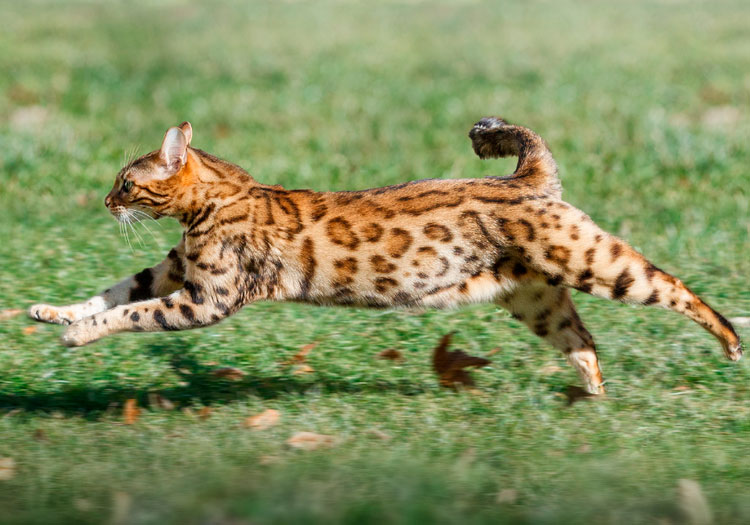 Бенгальская кошка характер