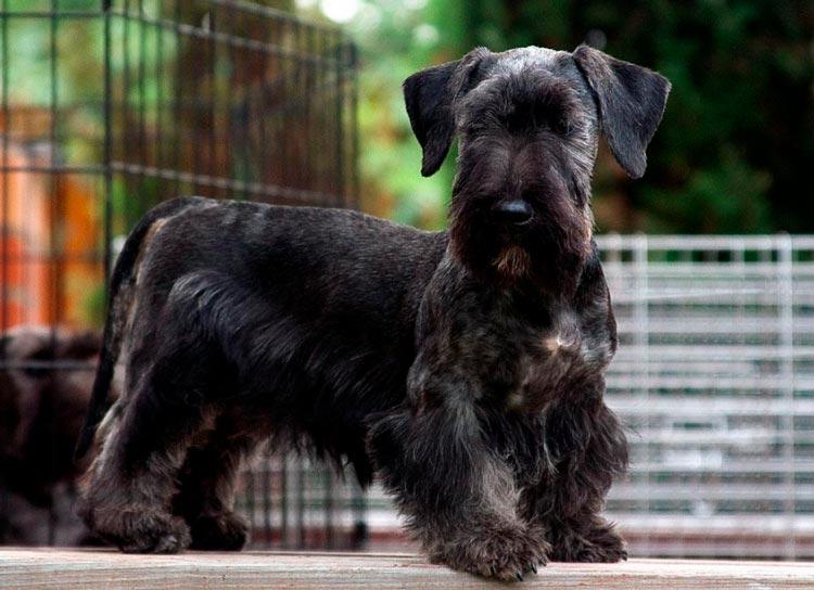 порода собак Чешский терьер