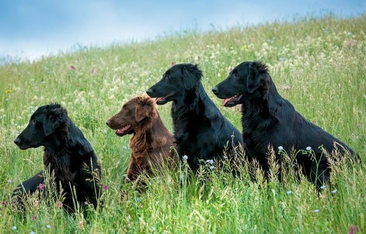 собаки породы Прямошерстный ретривер (флет)
