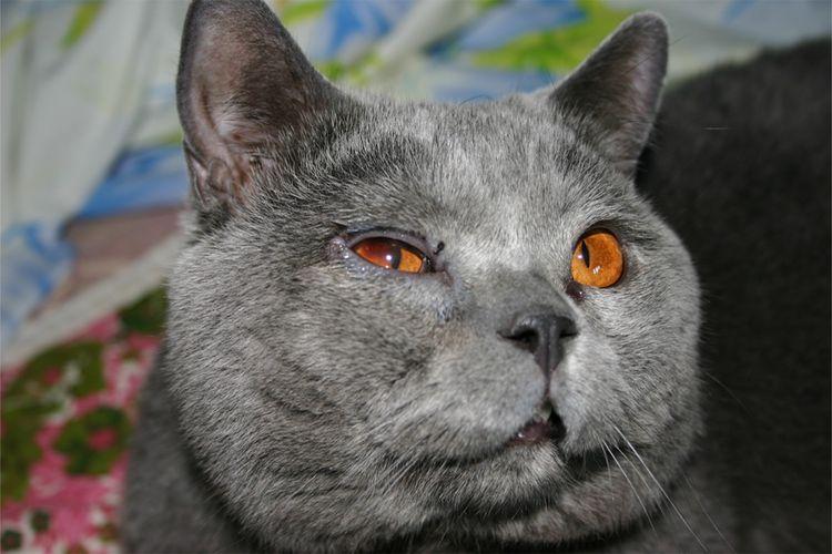 Воспаление глаза у кота британца