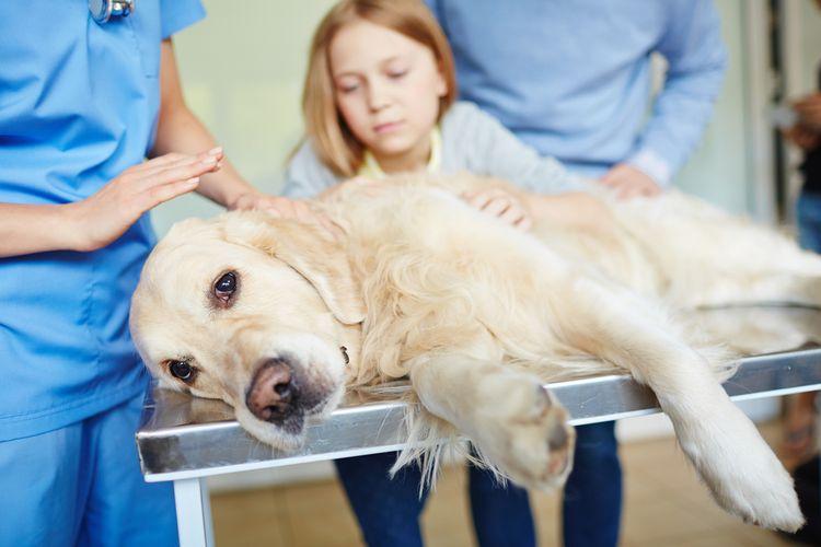 Лабрадор в ветеринарной клинике