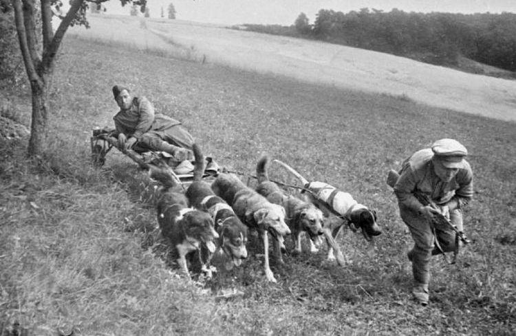 Собаки-санитары во время ВОВ