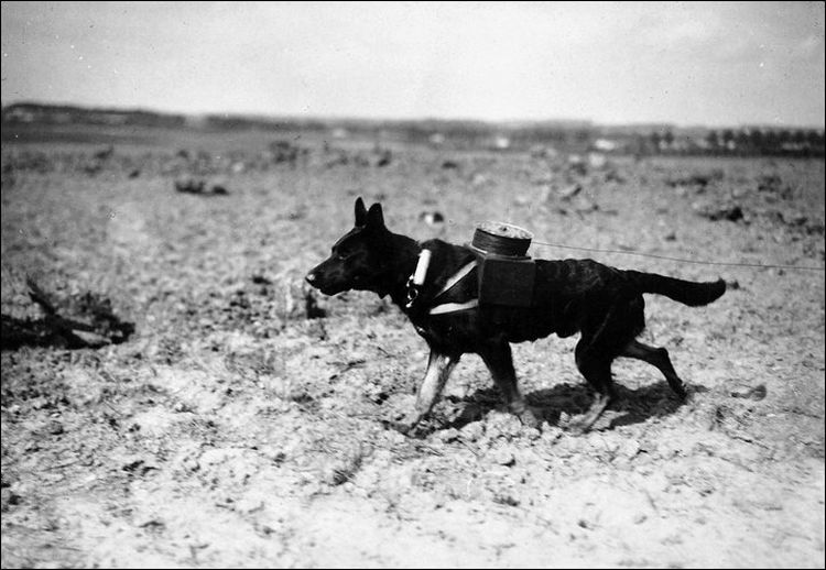 Собака-связист тянет кабель