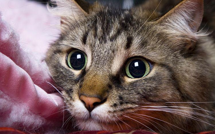 Кот окраса табби