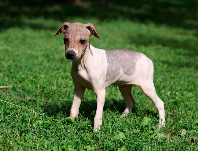 Американский голый терьер щенок