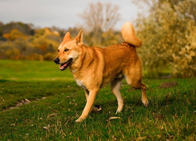 ханаанская собака бежит