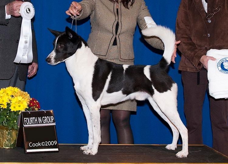 собака породы ханаанская собака