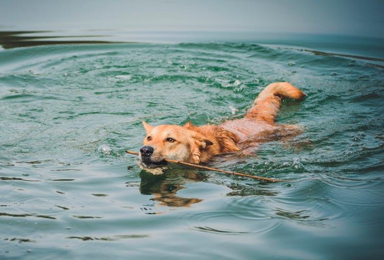 ханаанская собака в воде