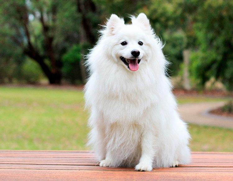 порода собак Вольпино итальяно