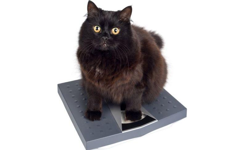 Кот на весах