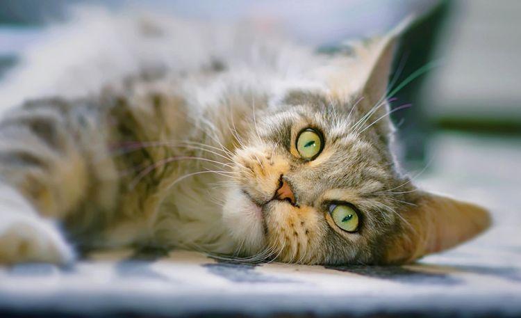 Взрослый кот