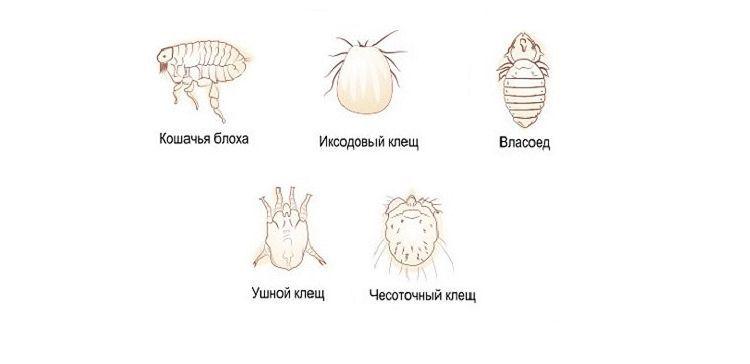 Внешние паразиты у кошек