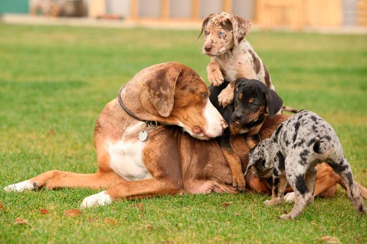 Леопардовая собака катахулы со щенками