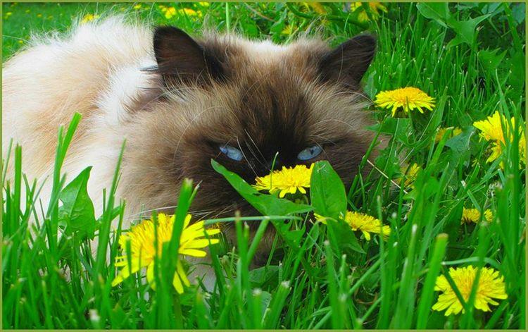 Кот в одуванчиках