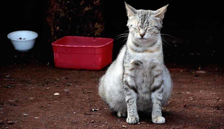 Раздутые бока у кота