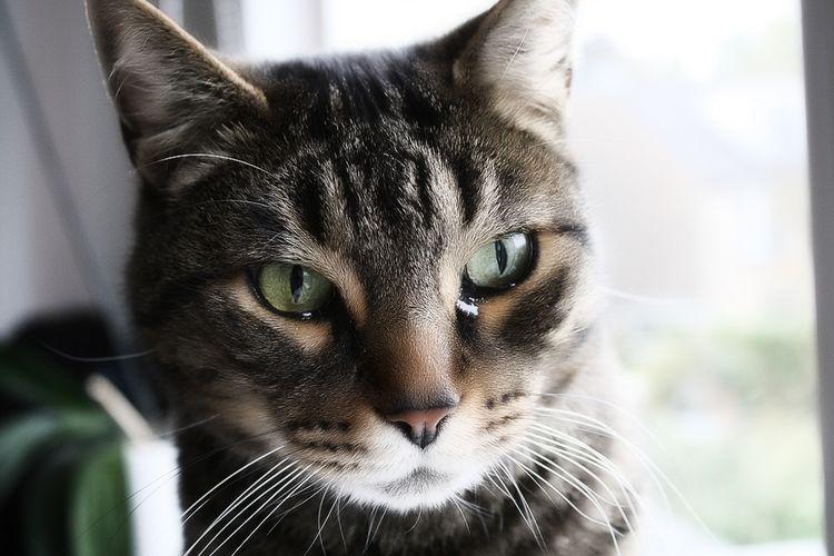 Слезится глаз у кошки