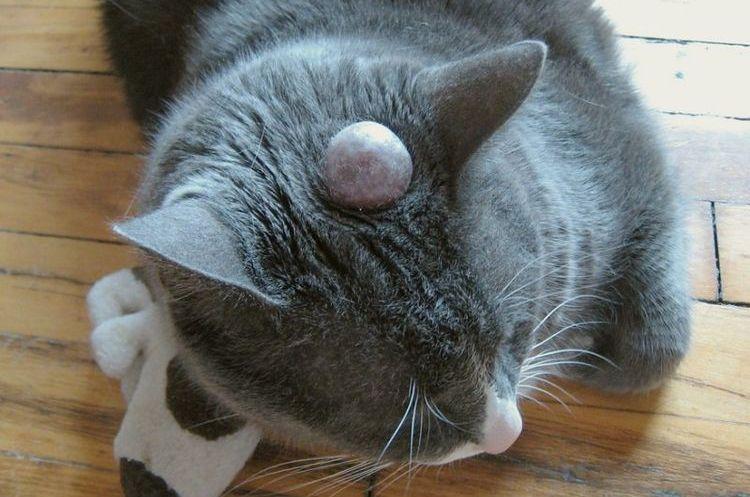 Киста на голове у кошки