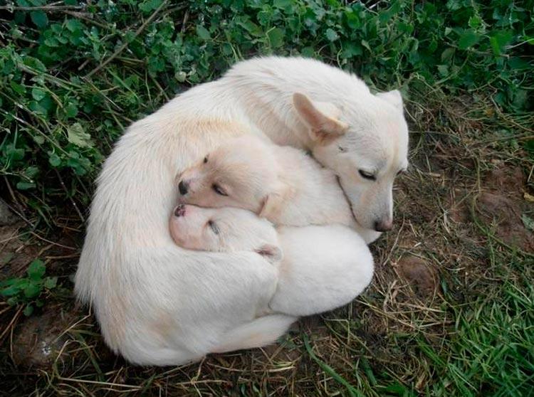 щенки с мамой породы Алопекис