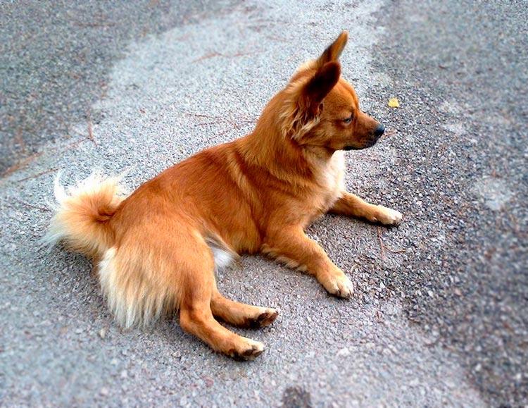Алопекис порода собак