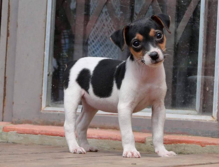 щенок породы Бразильский терьер