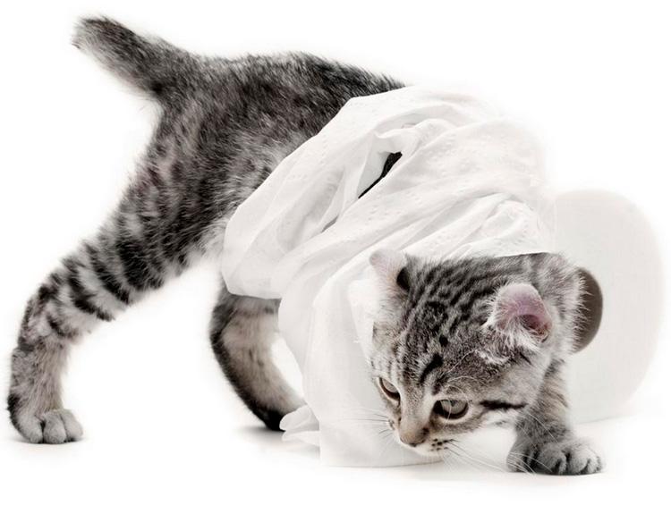 котенок породы Хайлендер