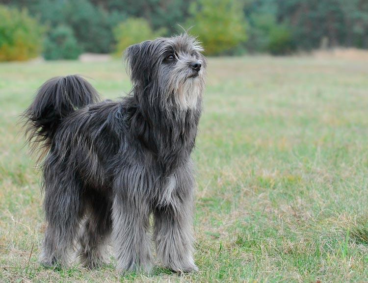 порода собак Пиренейская овчарка