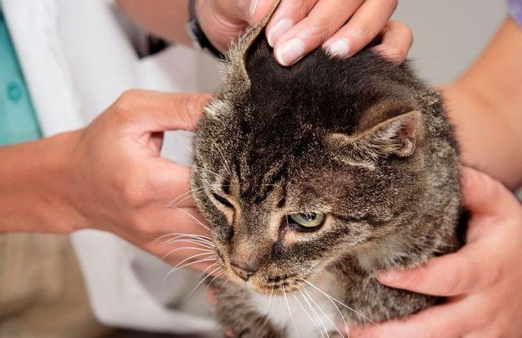 Осмотр кота у ветеринара