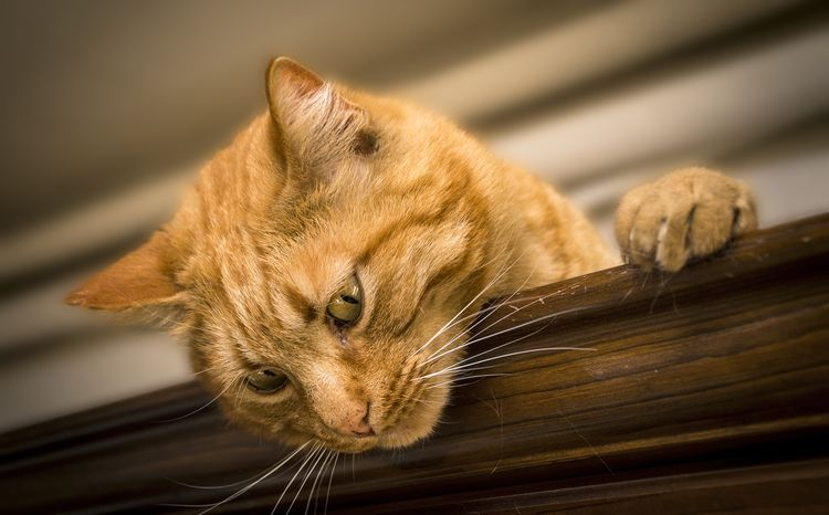 Рыжий кот на шкафу