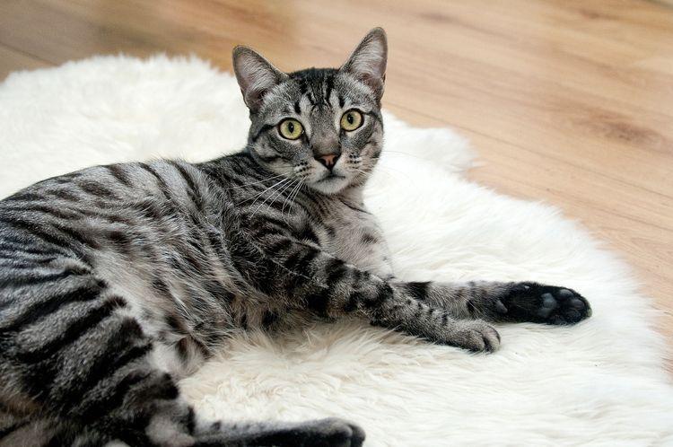 Кот лежит на ковре