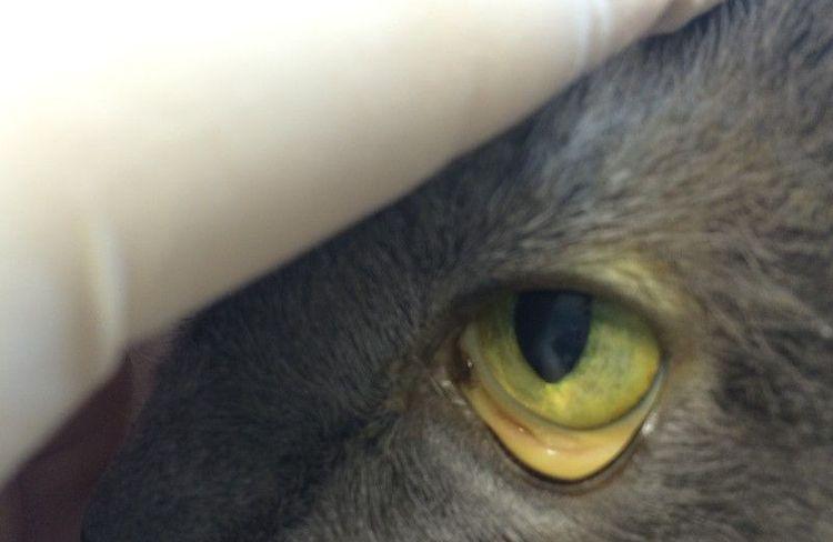 Гемобартонеллез у кошек симптомы