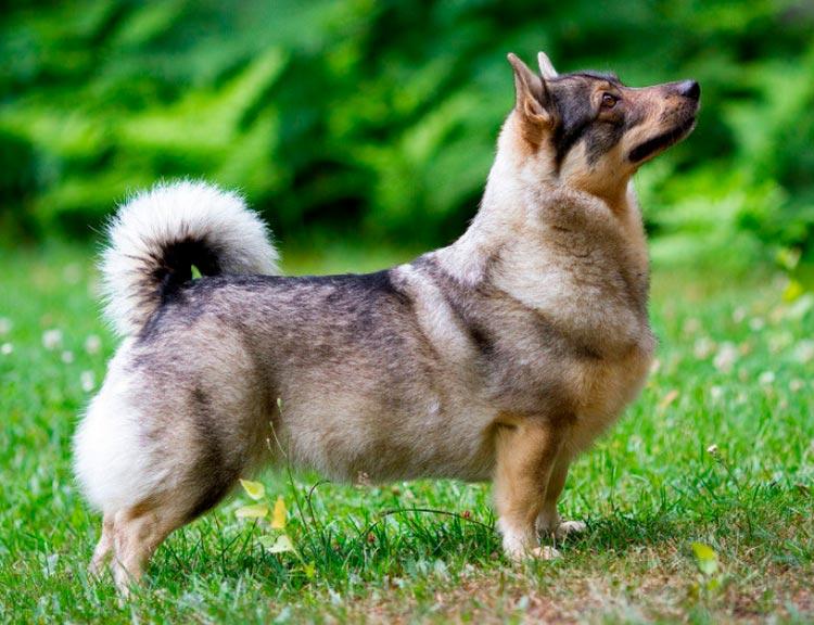 порода собак Шведский вальхунд