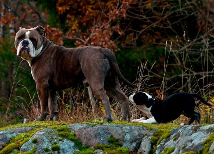 порода собак Староанглийский бульдог (заново созданный)