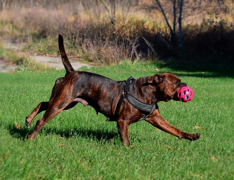 собака породы Староанглийский бульдог (заново созданный)