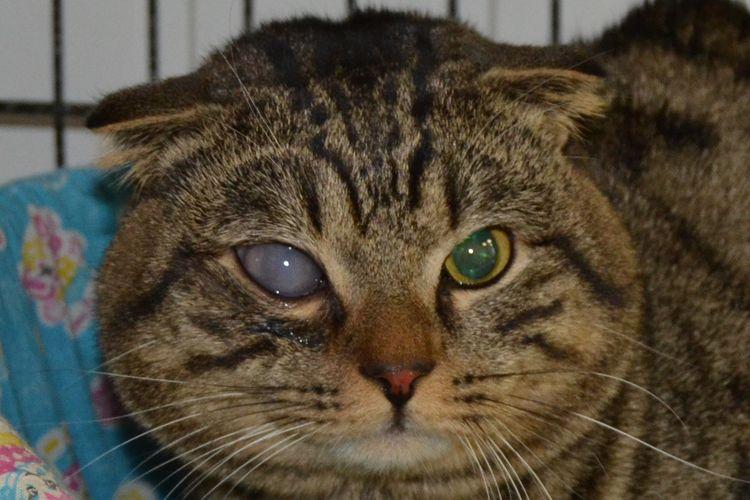 Глаукома у кошки