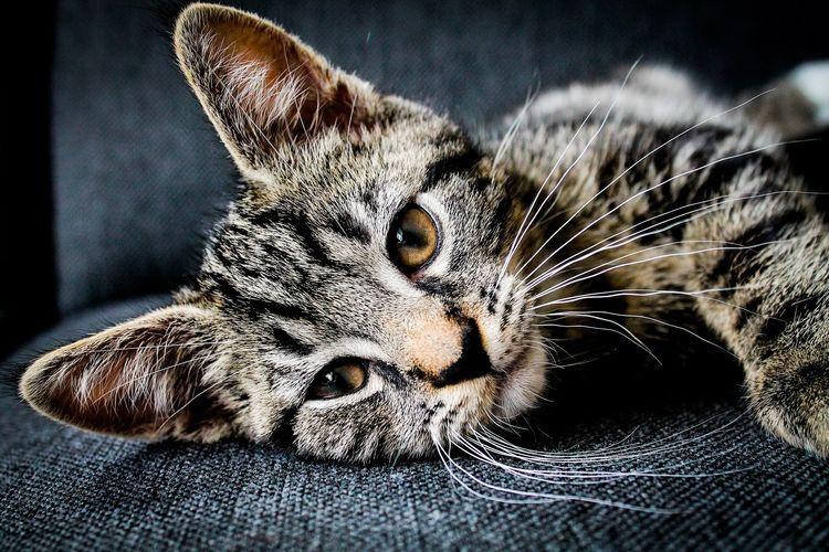Повышены лейкоциты у кота