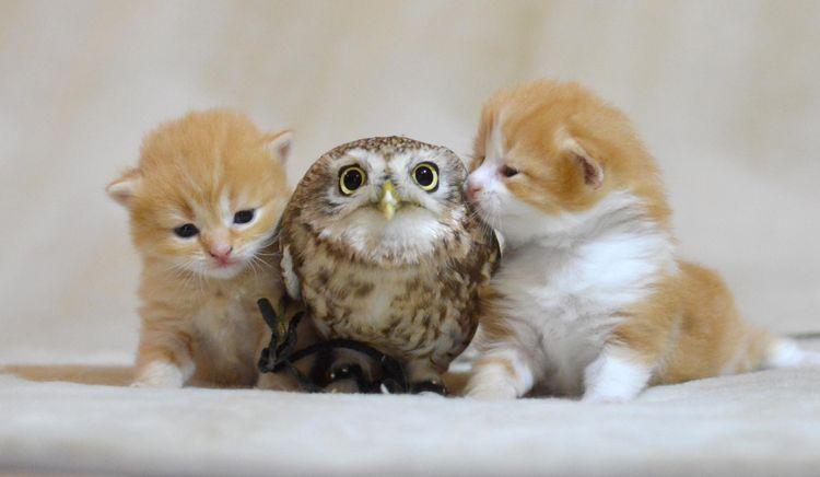 Два котенка и сова