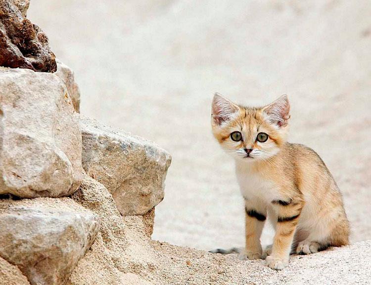 котенок вида Барханный кот