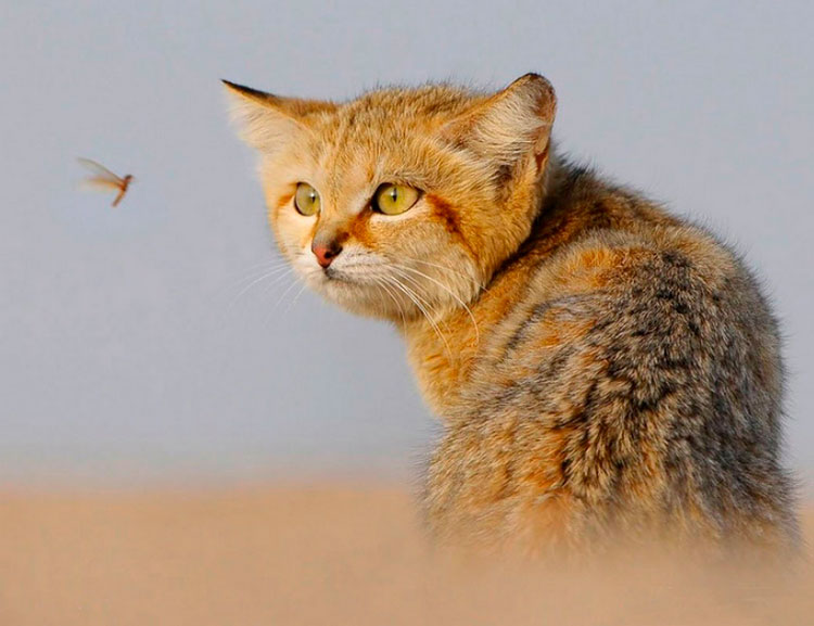 Барханный кот и комар