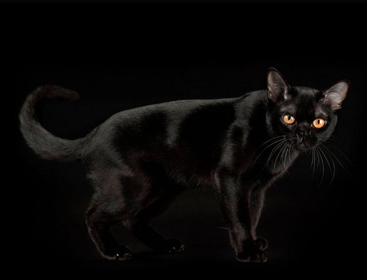 бомбейская кошка черная пантера