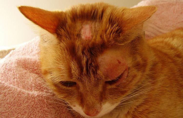 Коросты на голове кошки