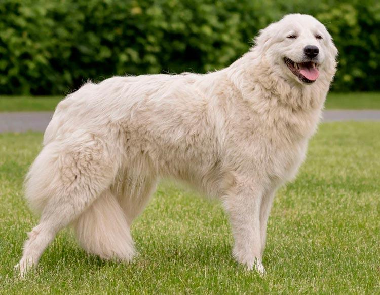 порода собак Мареммо-абруцкая овчарка