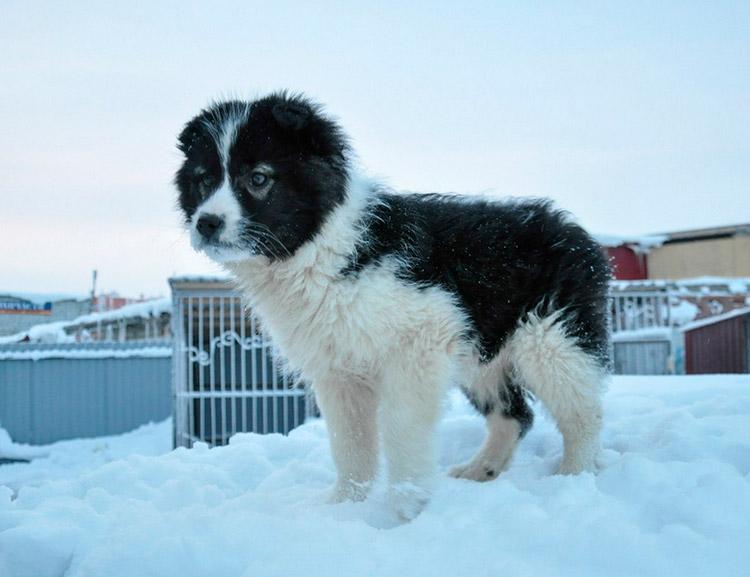Ненецкая лайка щенок