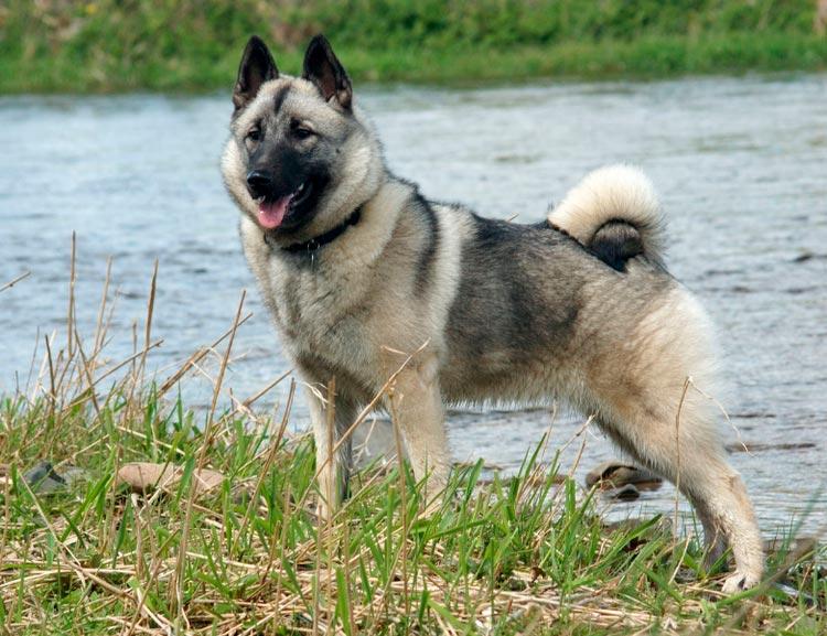 порода собак Норвежская лосиная лайка